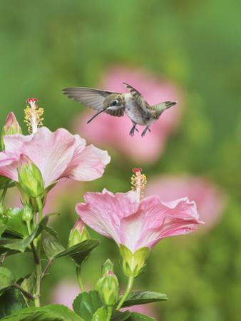 Ruby-throated Hummingbird young male in flight feeding, Hill Country, Texas, USA by Rolf Nussbaumer