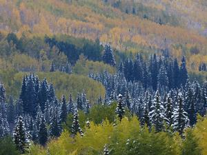 Snow on Aspen Trees in Fall, Red Mountain Pass, Ouray, Rocky Mountains, Colorado, USA by Rolf Nussbaumer
