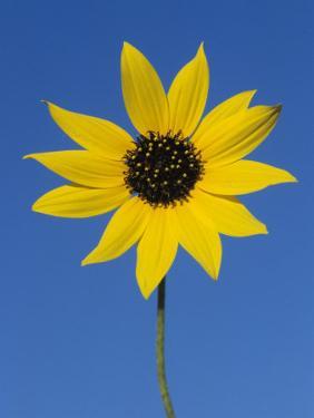 Sunflower, in Bloom, Welder Wildlife Refuge, Rockport, Texas, USA by Rolf Nussbaumer