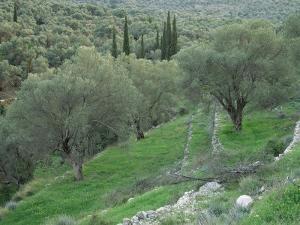 Terraced Olive Grove, Samos, Greece by Rolf Nussbaumer