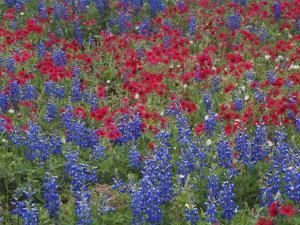 Texas Bluebonnet and Drummond's Phlox Flowering in Meadow, Gonzales County, Texas, Usa, March 2007 by Rolf Nussbaumer