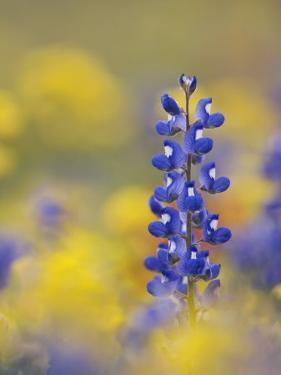 Texas Bluebonnet in Field of Wildflowers, Gonzales County, Texas by Rolf Nussbaumer