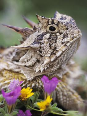 Texas Horned Lizard Adult Head Portrait, Texas, Usa, April by Rolf Nussbaumer