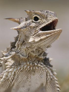 Texas Horned Lizard, Rio Grande Valley, Texas, USA by Rolf Nussbaumer