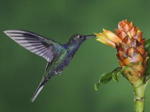 Violet Sabrewing in Flight Feeding on Spiral Ginger, Central Valley, Costa Rica by Rolf Nussbaumer