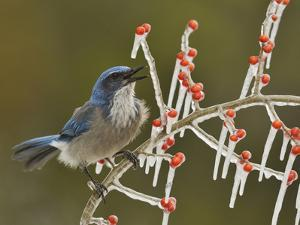 Western Scrub-Jay singing on icy branch of Possum Haw Holly, Hill Country, Texas, USA by Rolf Nussbaumer