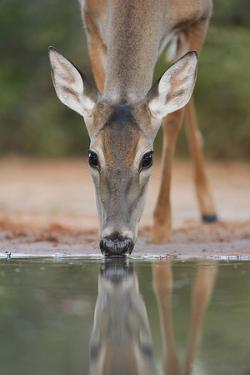 White-tailed Deer drinking, South Texas, USA by Rolf Nussbaumer