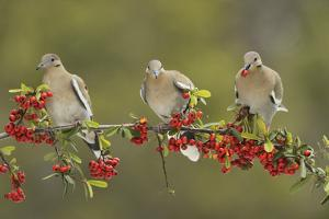 White-winged Dove perched on Firethorn, with berries, Hill Country, Texas, USA by Rolf Nussbaumer
