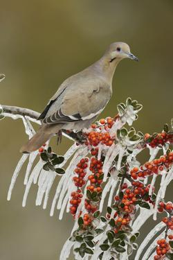 White-winged Dove perched on icy Yaupon Holly, Hill Country, Texas, USA by Rolf Nussbaumer