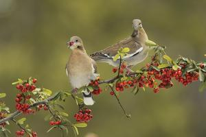 White-winged Dove s eating Firethorn berries, Hill Country, Texas, USA by Rolf Nussbaumer