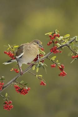 White-winged Dove (Zenaida asiatica), adult eating Firethorn berries, Hill Country, Texas, USA by Rolf Nussbaumer
