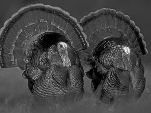 Wild Turkey Males Displaying, Texas, USA by Rolf Nussbaumer