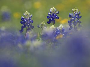 Wildflower Field with Texas Bluebonnet, Comal County, Hill Country, Texas, Usa, March 2007 by Rolf Nussbaumer