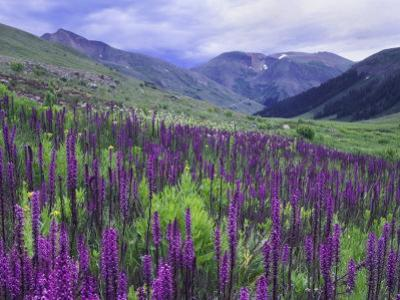 Wildflowers in Alpine Meadow, Ouray, San Juan Mountains, Rocky Mountains, Colorado, USA