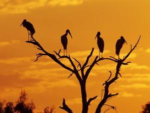 Wood Stork, Lake Corpus Christi, Texas, USA by Rolf Nussbaumer