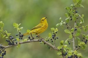 Yellow Warbler male perched on Elbow bush Hill Country, Texas, USA by Rolf Nussbaumer