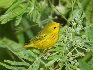 Yellow Warbler, Male, South Padre Island, Texas, USA by Rolf Nussbaumer