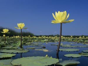 Yellow Water Lilies, in Bloom on Lake, Welder Wildlife Refuge, Sinton, Texas, USA by Rolf Nussbaumer