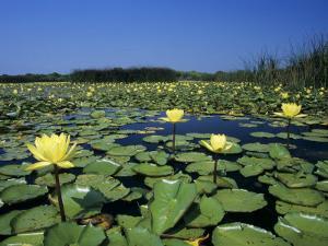 Yellow Waterlily, Welder Wildlife Refuge, Sinton, Texas, USA by Rolf Nussbaumer