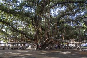 Banyan Tree, Lahaina, Maui, Hawaii, United States of America, Pacific by Rolf Richardson