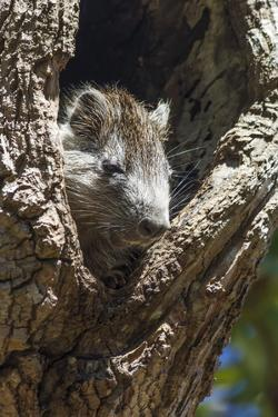 Tree Rat (Desmarest's Hutia), Cuba, West Indies, Caribbean, Central America by Rolf