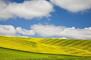Rolling Hills of Canola and Pea Fields with Fresh Spring Color