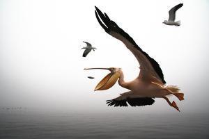 Pelican Fishing by Romulo Rejon