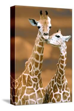 Giraffe First Love by Ron D'Raine