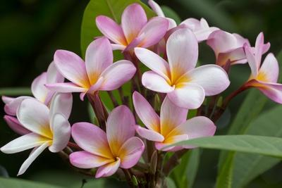 Cluster of Pink Plumeria Blossoms.