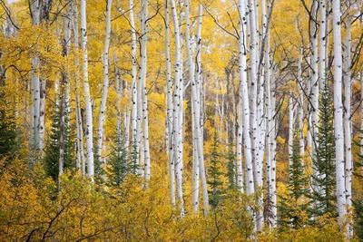 Colorful Aspen Trees. Thorpe Mountain, Colorado
