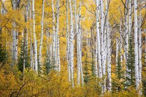 Colorful Aspen Trees. Thorpe Mountain, Colorado by Ron Dahlquist