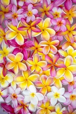 Colorful Plumeria Blossoms, Maui, Hawaii by Ron Dahlquist