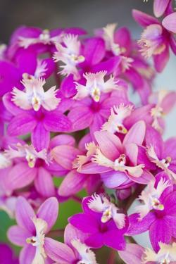 Epidendrum Orchids, Hawaii by Ron Dahlquist