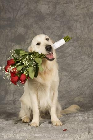 Golden Retriever Holding Bouquet of Roses by Ron Dahlquist