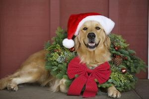 Golden Retriever Wearing Christmas Wreath and Santa Hat by Ron Dahlquist