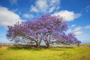 Jacaranda Trees in Bloom in the Up-Country on Maui by Ron Dahlquist