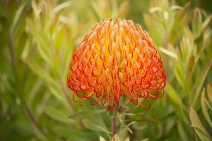 Orange Pin Cushion Protea, Upcountry Maui, Hawaii by Ron Dahlquist