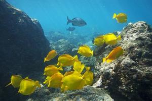 School of Yellow Tang Nderwater Near La Perousse, Makena, Maui, Hawaii by Ron Dahlquist