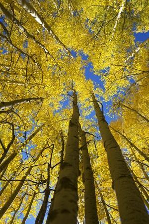 Yellow Aspen Trees in Steamboat Springs, Colorado