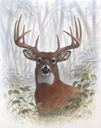 Deer Buck Portrait