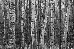 Birch Stand by Ron Kochanowski