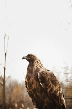 Golden Eagle by Ron Levine