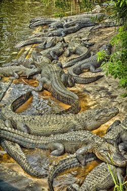 Aligators, Alligator Farm Zoological Park, St. Augustine, Florida by Rona Schwarz