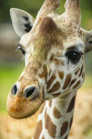 Close-up of a Reticulated Giraffe at the Jacksonville Zoo