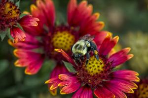 Close Up of Bumblebee with Pollen Basket on Indian Blanket Flower by Rona Schwarz