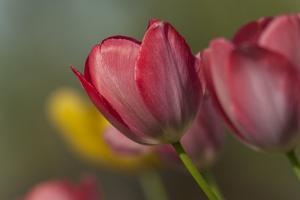 Close Up of Red and Yellow Tulips in Garden by Rona Schwarz