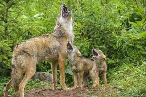 Minnesota, Minnesota Wildlife Connection. Coyote and Pups Howling by Rona Schwarz