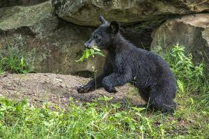Minnesota, Sandstone, Black Bear Cub with Leaf in Mouth by Rona Schwarz