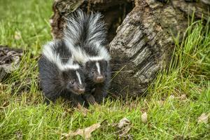 Minnesota, Sandstone, Two Striped Skunk Kits Outside Hollow Log by Rona Schwarz