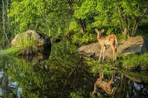 Minnesota, Sandstone, White Tailed Deer Fawn and Foliage by Rona Schwarz
